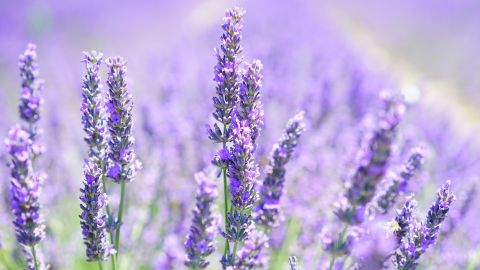 Lavender and Longing
