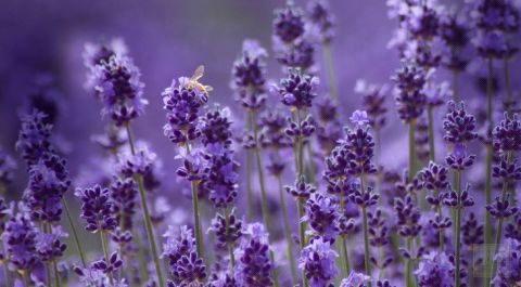 Intensive Lavender Therapy